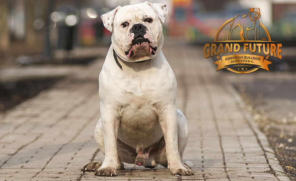 American Bulldog - Grand Future Pharaoh