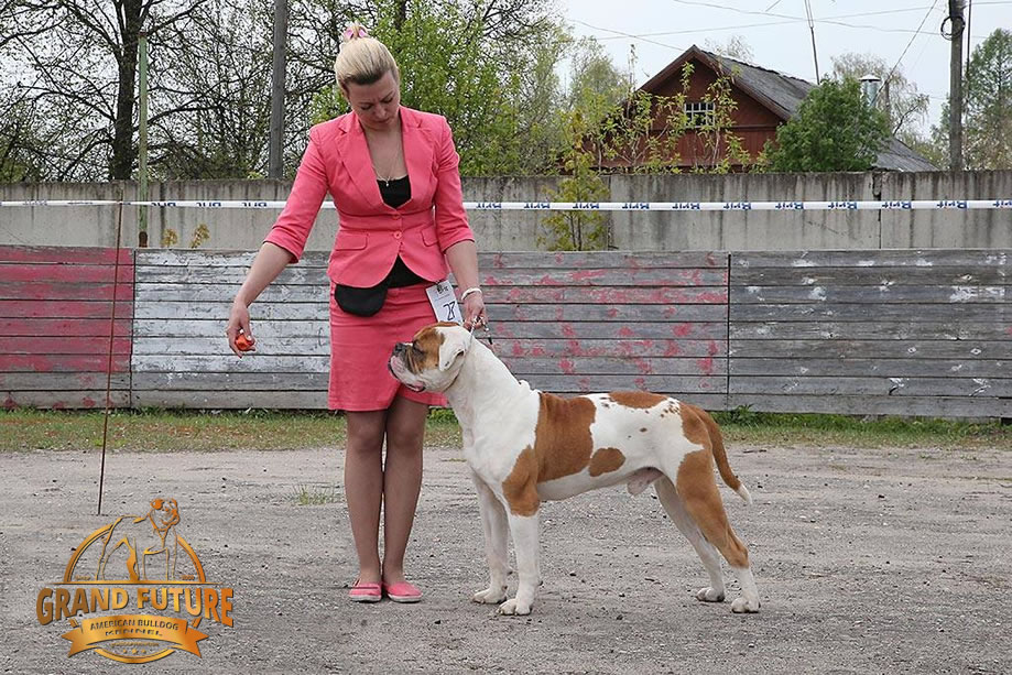 American Bulldog - Grand Future Shaman Shock For All