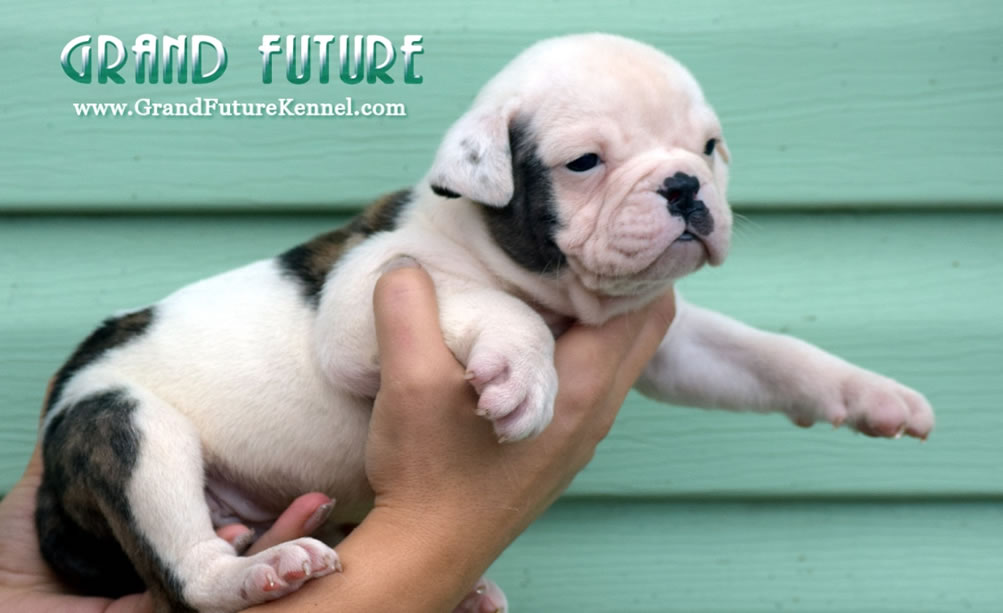 American Bulldog - Grand Future Trump