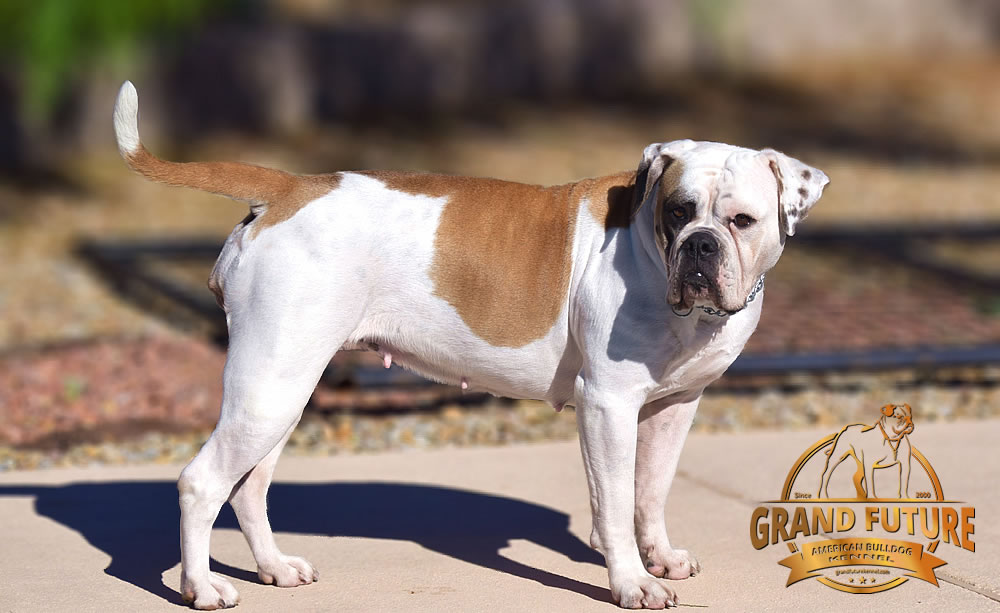 American Bulldog - Grand Future Thunder