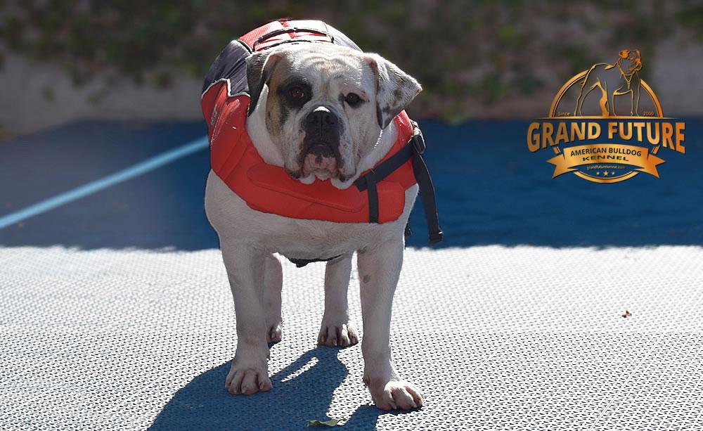 American Bulldog - Grand Future Thunder