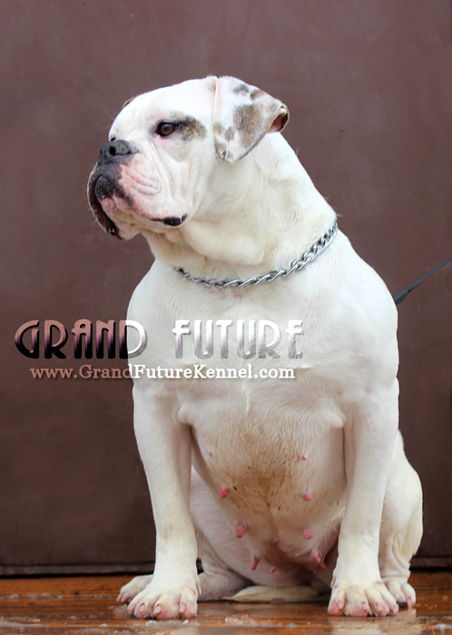 American Bulldog - Grand Future Tenacity