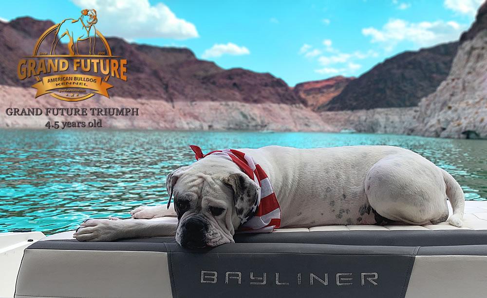 American Bulldog - Grand Future Triumph