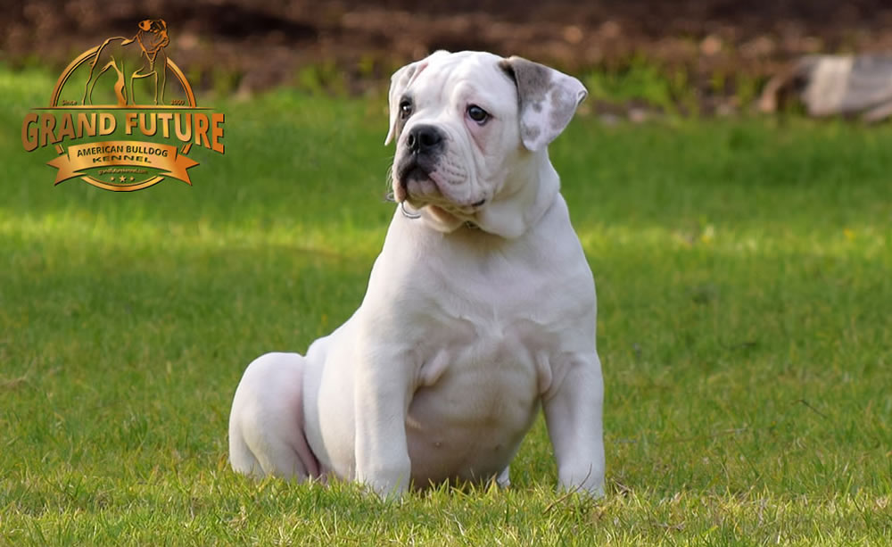 American Bulldog - Grand Future Triumph