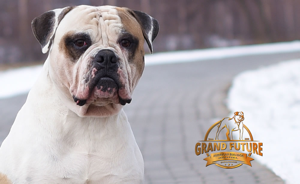 American Bulldog - Grand Future Unique Macho