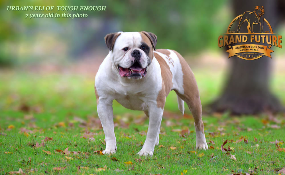 American Bulldog - Urban's Eli of Tough Enough