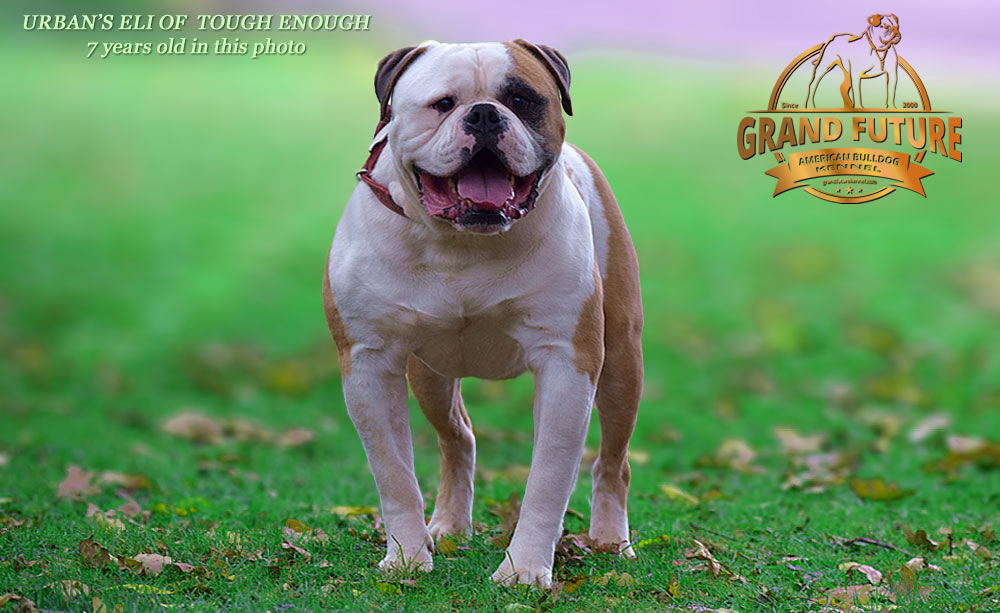American Bulldog - Urban's Eli of Tough Enough
