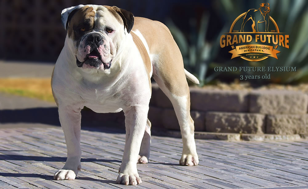 American Bulldog - Grand Future Elysium - 3 years old