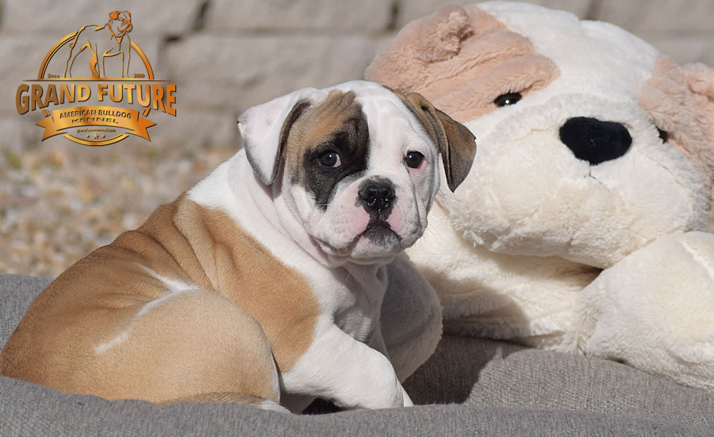 American Bulldog - GRAND FUTURE ELYSIUM