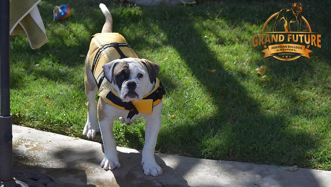 American Bulldog - GRAND FUTURE ELYSIUM