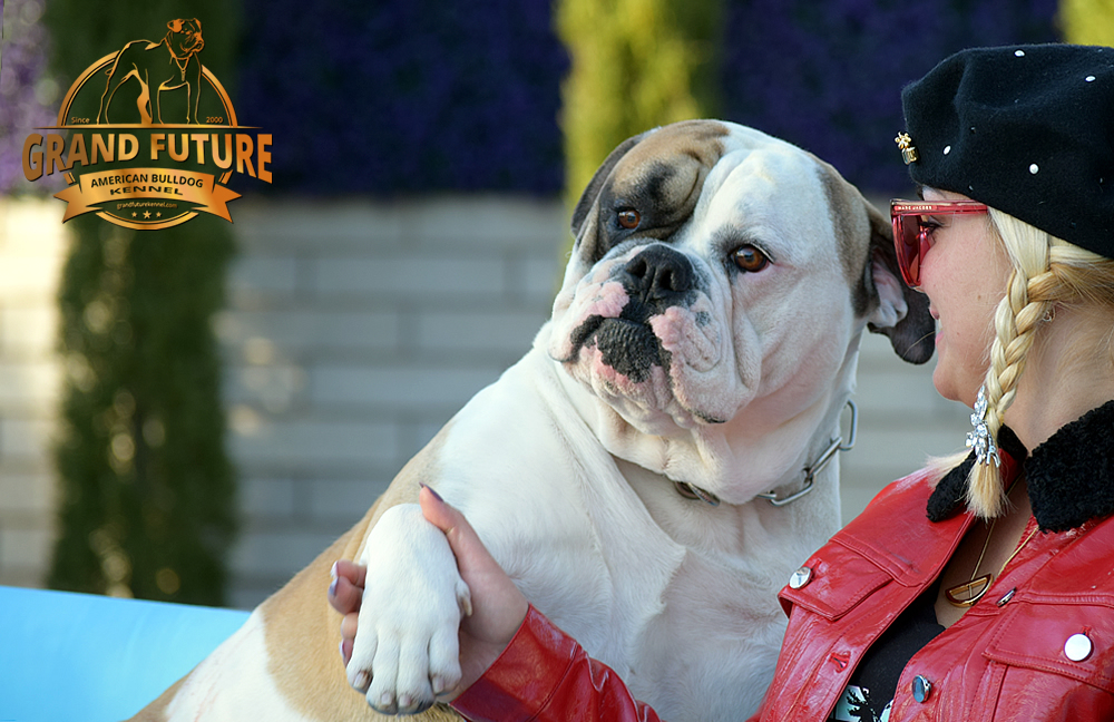 American Bulldog Stud - GRAND FUTURE ELYSIUM