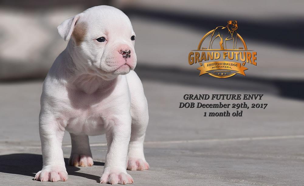 American Bulldog - GRAND FUTURE ENVY