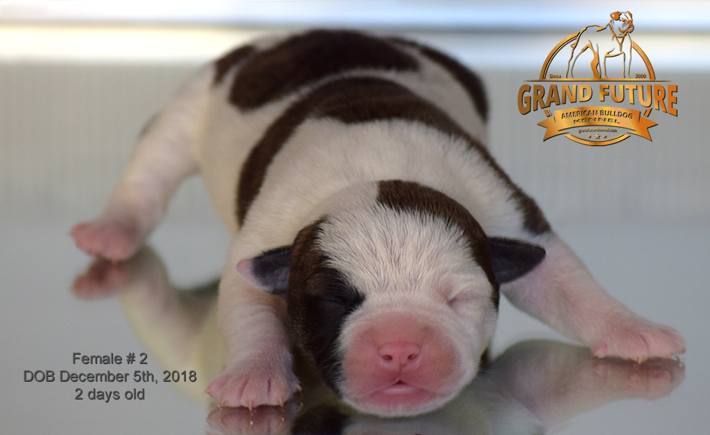 American Bulldog - GRAND FUTURE HAPPY