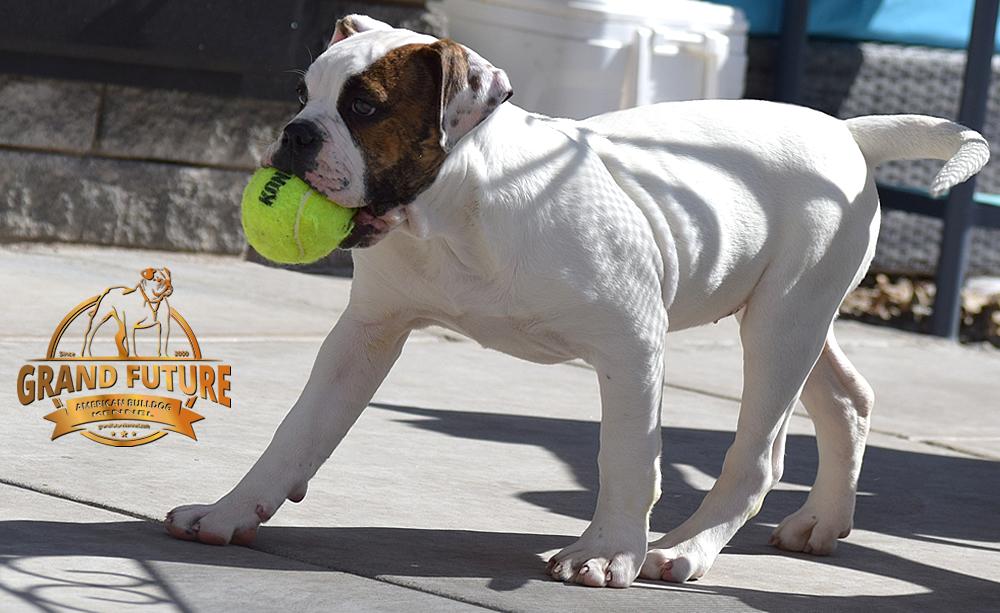 American Bulldog - GRAND FUTURE INNUENDO