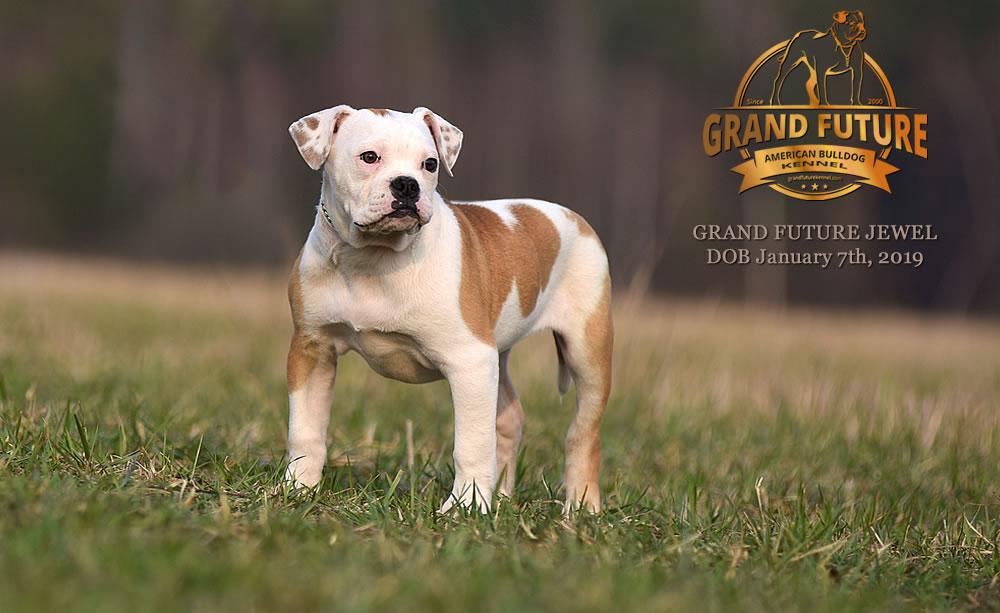American Bulldog - GRAND FUTURE JEWEL