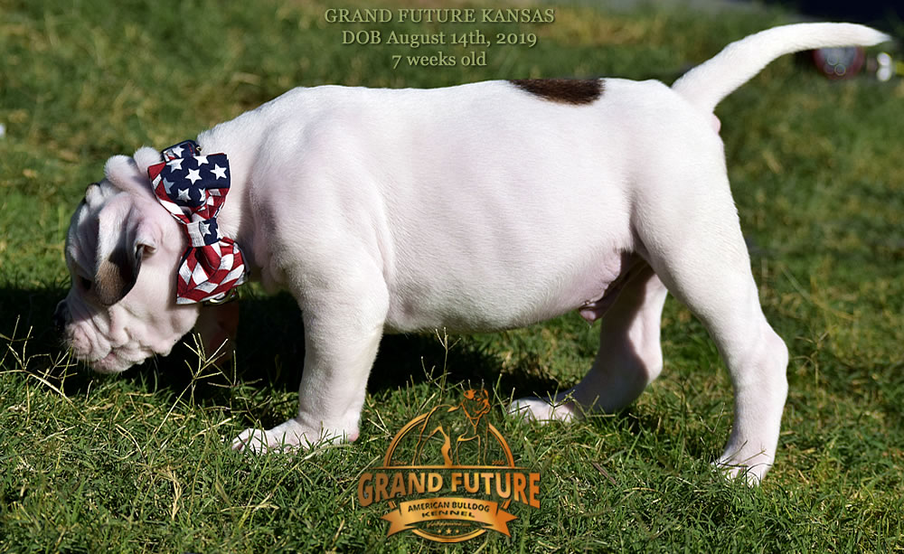 American Bulldog Stud - GRAND FUTURE KANSAS