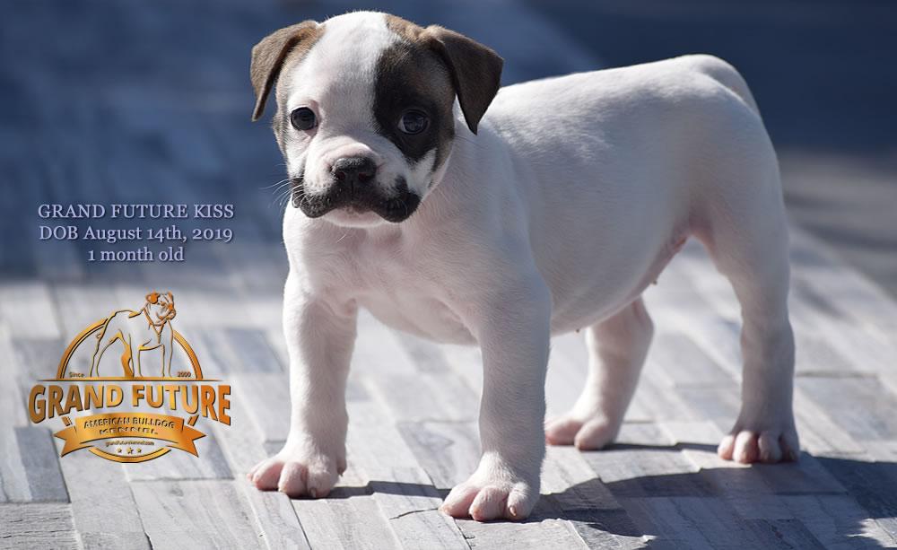 American Bulldog - GRAND FUTURE KISS