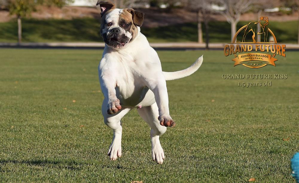 American Bulldog - Grand Future Kiss - 1.5 years old