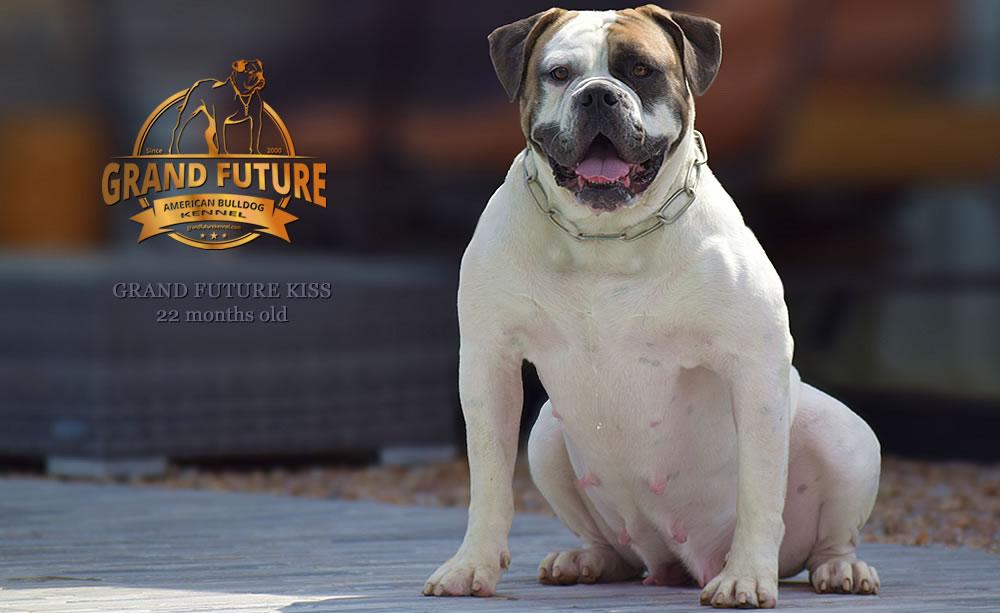 American Bulldog - Grand Future Kiss - 22 months old