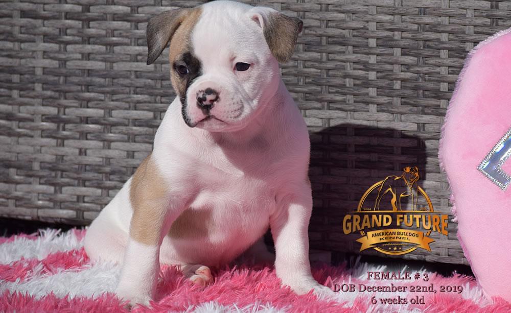 American Bulldog - GRAND FUTURE MELODY