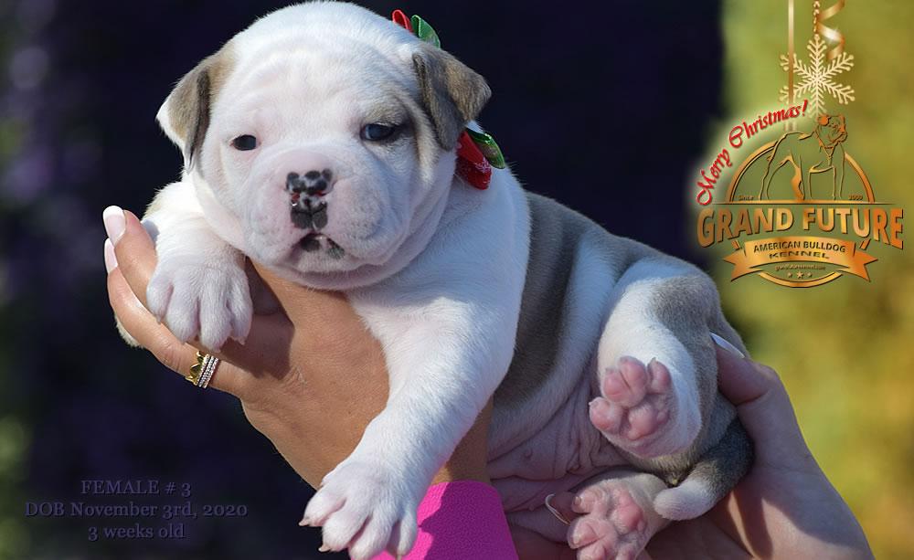 American Bulldog - Grand Future Nirvana