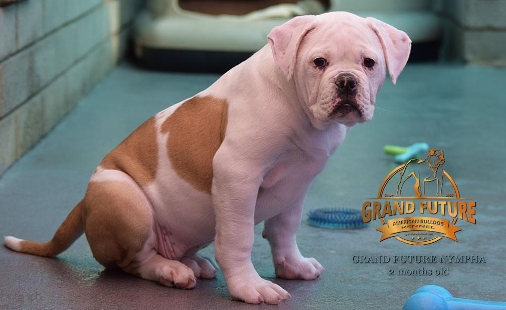 American Bulldog - Grand Future Nympha