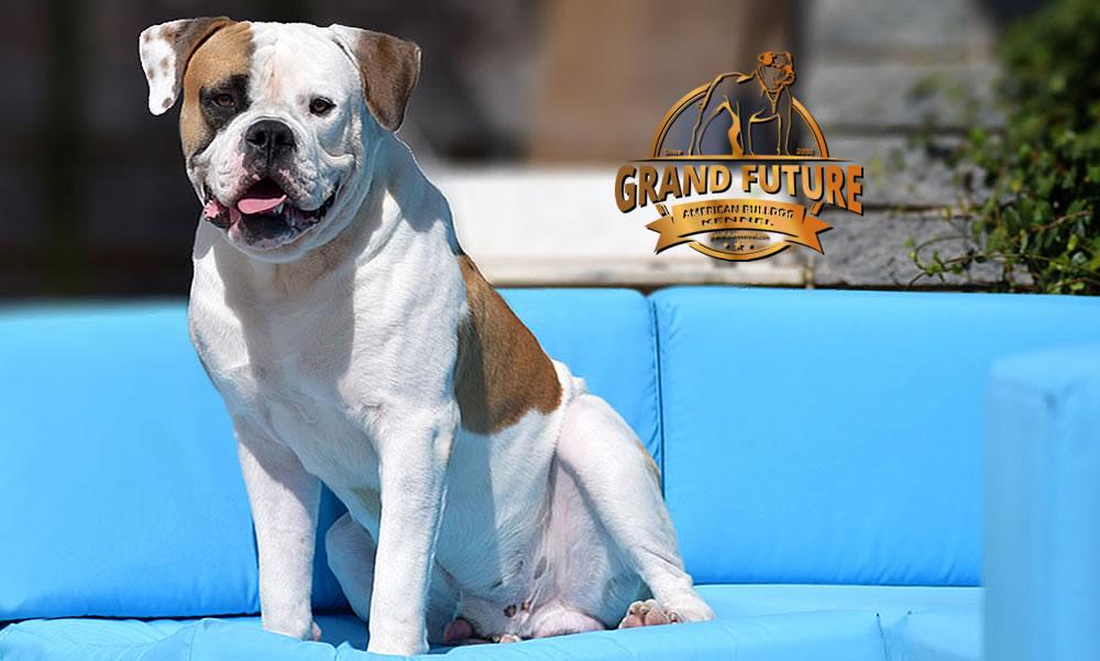 American Bulldog - Grand Future Shamrock