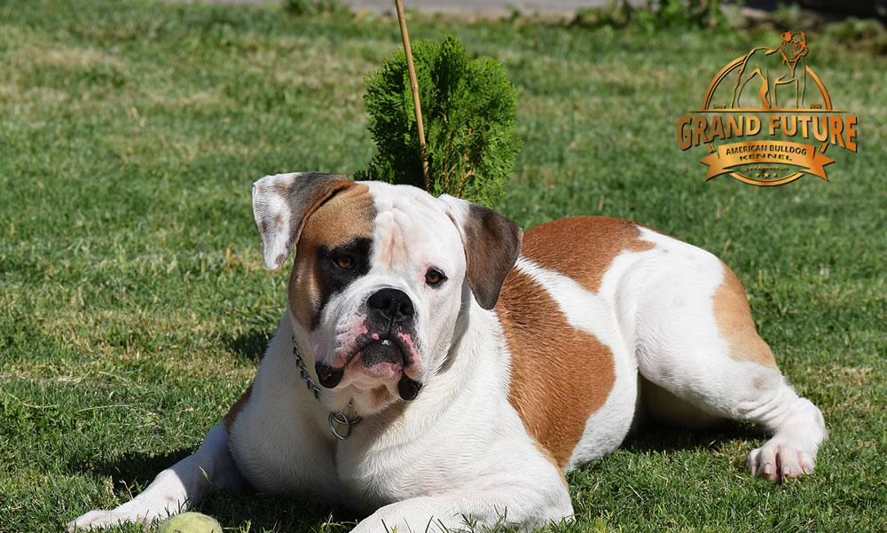 American Bulldog - Grand Future Shamrock