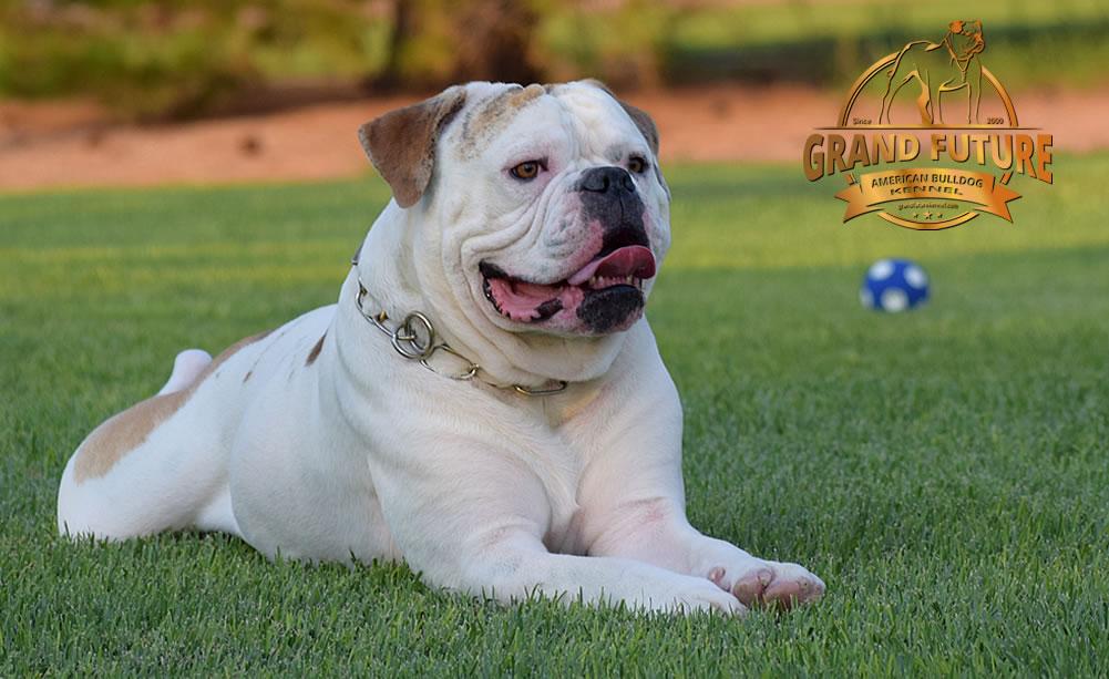 American Bulldog - Grand Future Sheriff