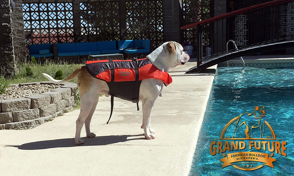 American Bulldog - Grand Future Sheriff