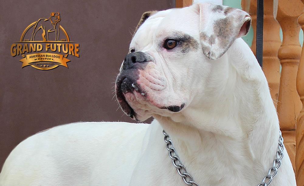 American Bulldog - Grand Future Tenacity
