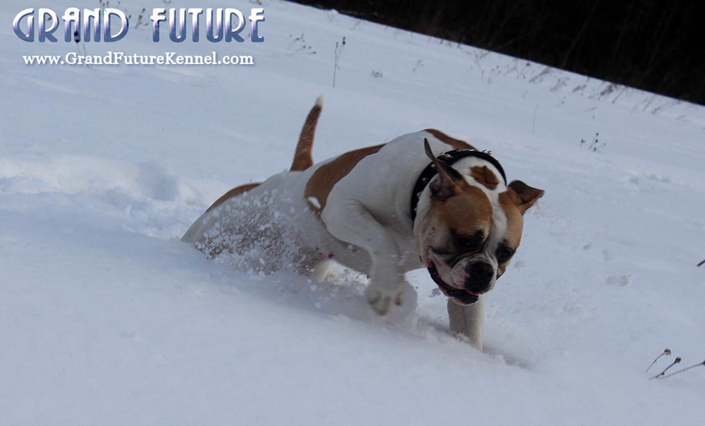 American Bulldog - Grand Future Treasure