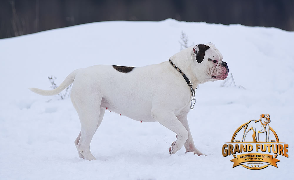 American Bulldog - Grand Future WhiteEnvy