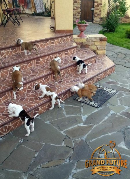 American Bulldog puppies - Grand Future Kennel