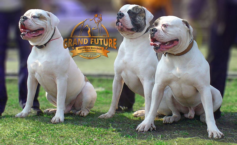 Champion American Bulldog Puppies - Grand Future Kennel