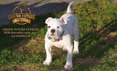 Grand Future Everest - American Bulldog