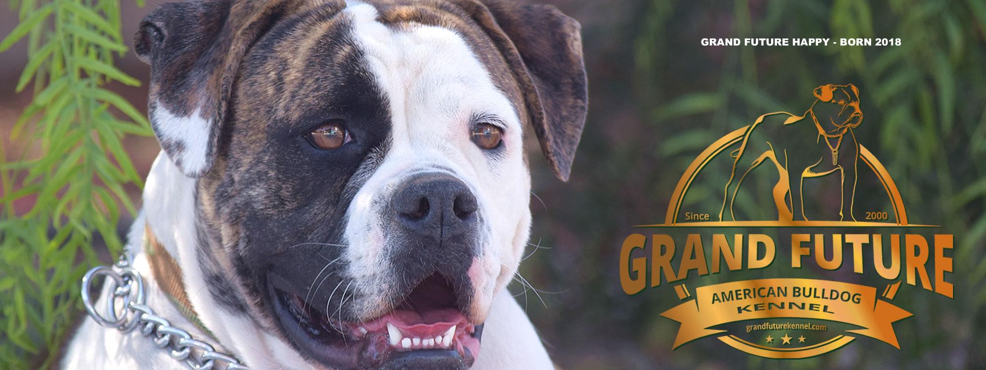 Champion Pedigree American Bulldog Puppies for Sale - GRAND FUTURE KENNEL - American Bulldog Kennel