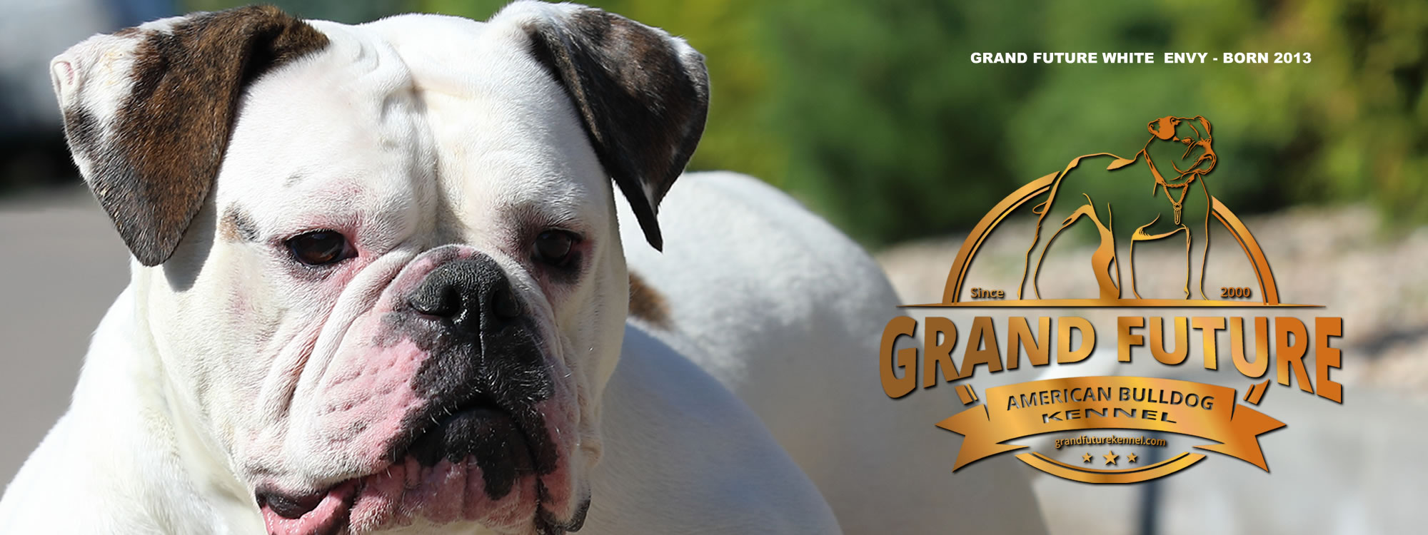 Champion Pedigree American Bulldog Puppies for Sale - GRAND FUTURE KENNEL - American Bulldog Kennel
